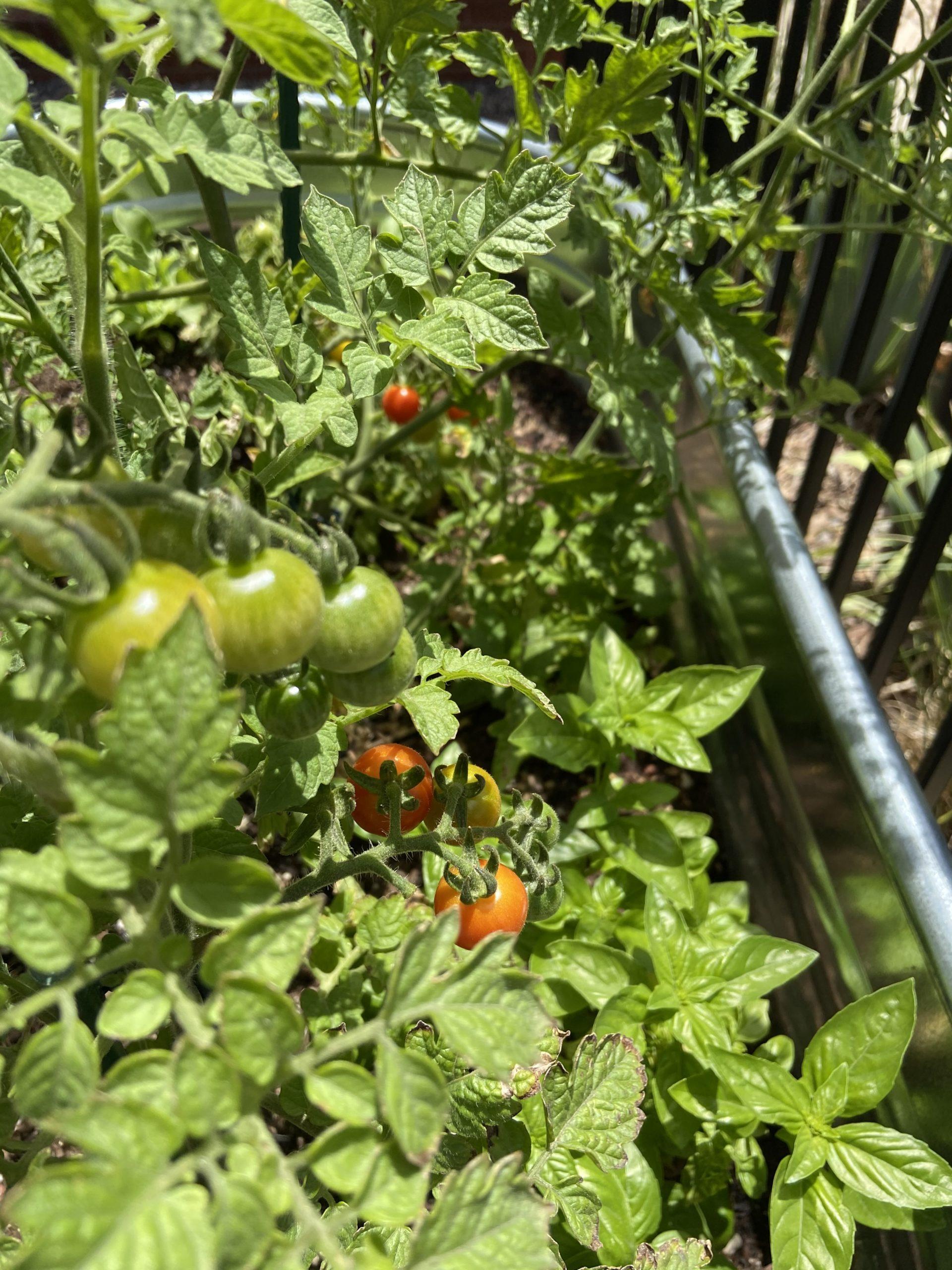 cherry tomato plant