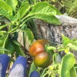 Fresh tomatoes used at Children's Alley